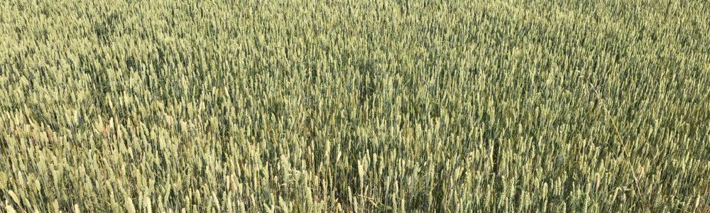 Il colore del grano